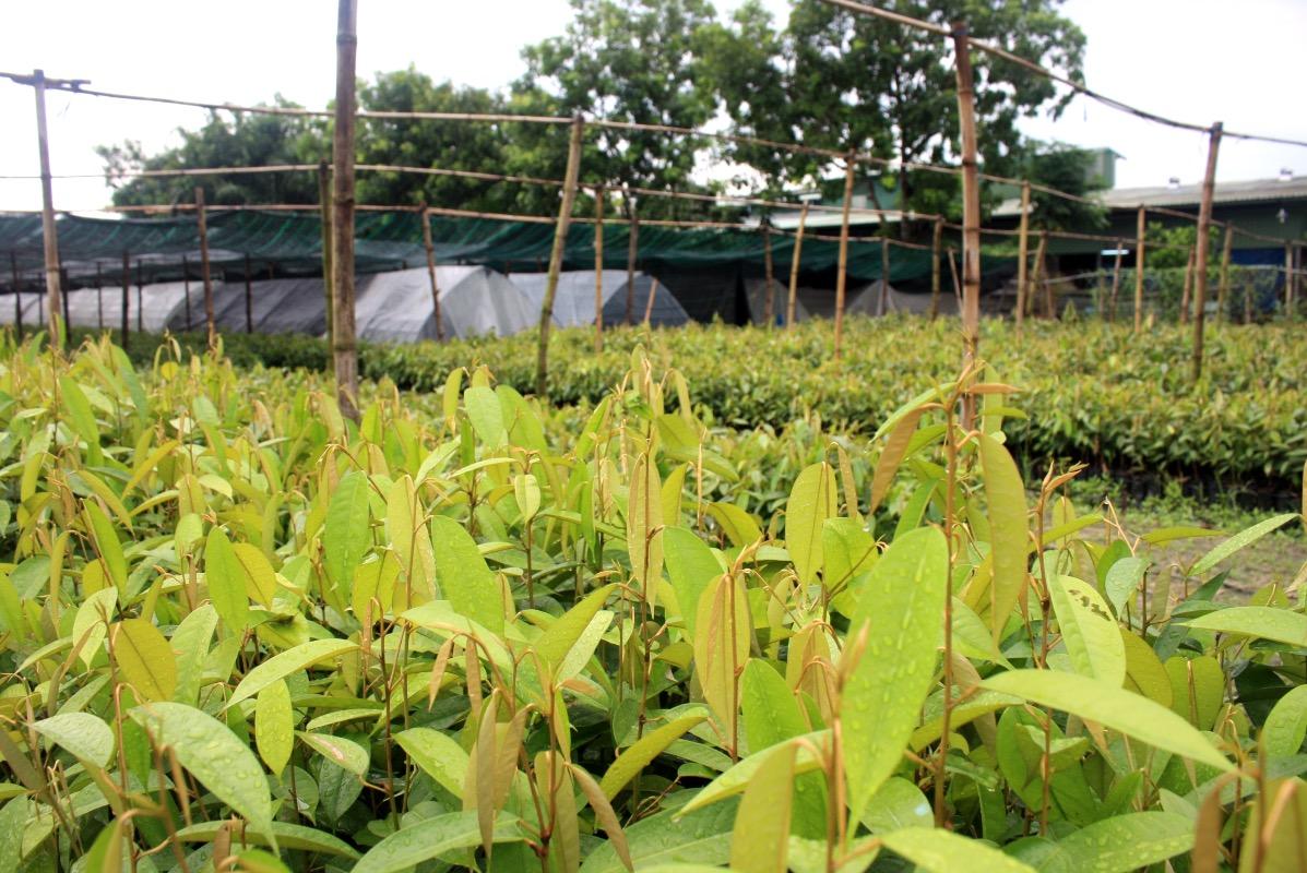 kinh doanh cây giống, sao khuê, giống cây trồng
